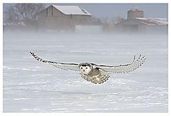 Gliding Snowy (Rassie)
