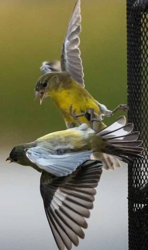 Finch Fight - at the feeder.