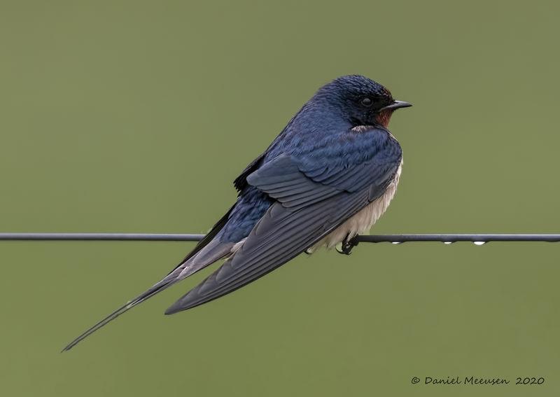 Barn-swallow