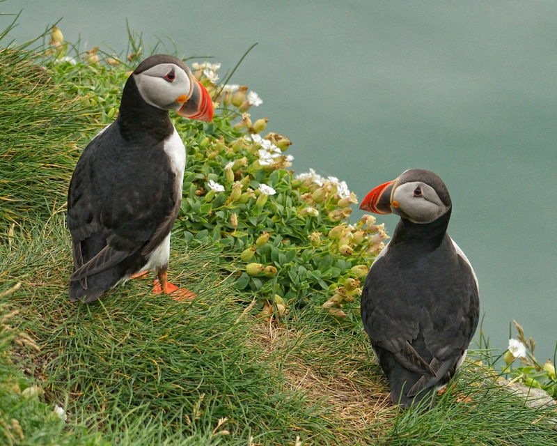Puffin pair with flowers