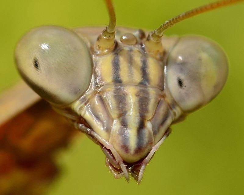 Praying Mantis - Close-up Crop