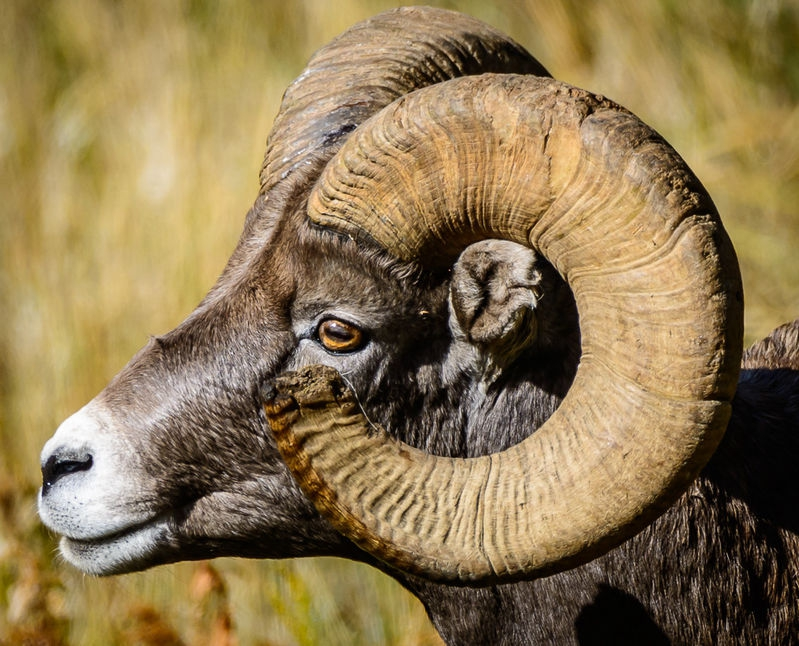 Bighorn Sheep - Yellowstone NP