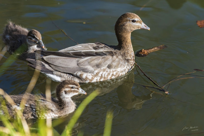 Woodies, wattle birds and water hens