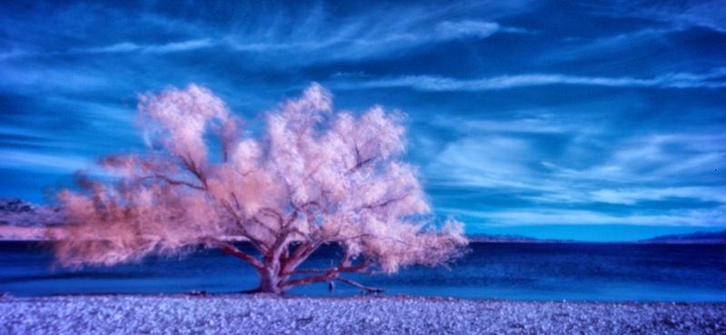 Colorado-Desert-Willow-Color