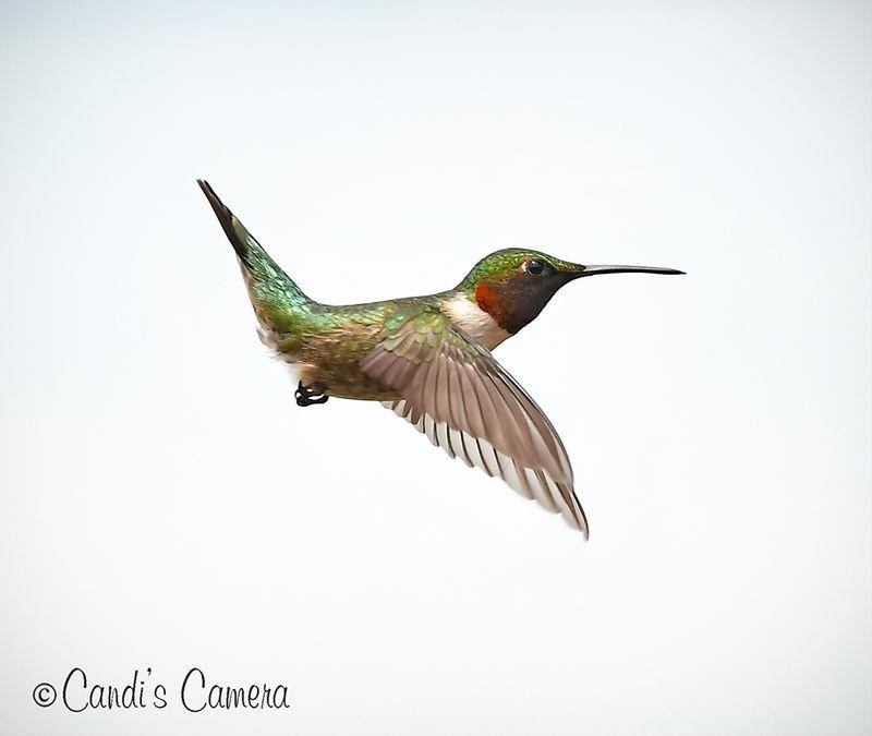 Male Ruby throated Hummingbird #1