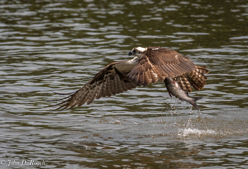 Osprey_Fishing_Sequence-11