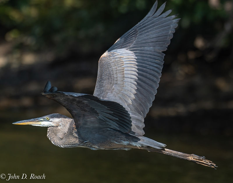 Great Blue Heron moving on.