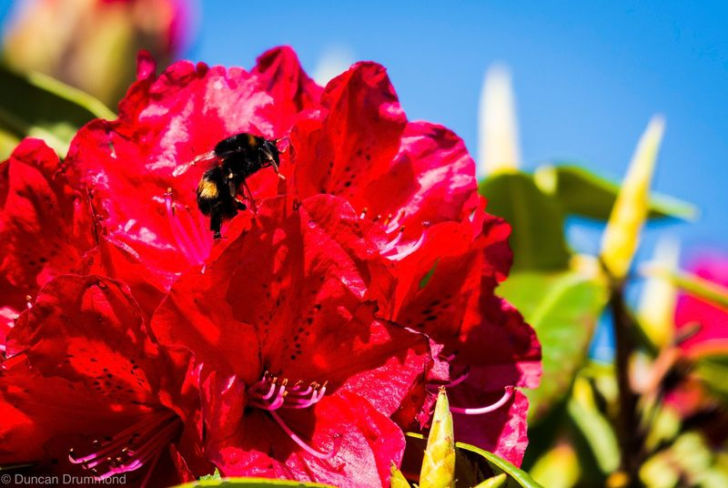 Bumble on the Rhododendron