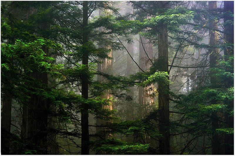 Redwoods in the Fog