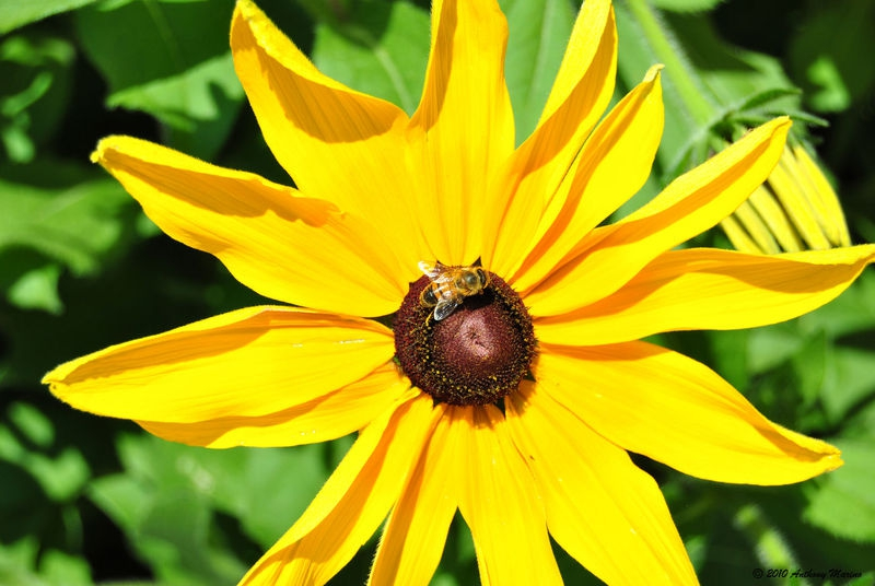 Bumble Bee on a Black Eyed Susan