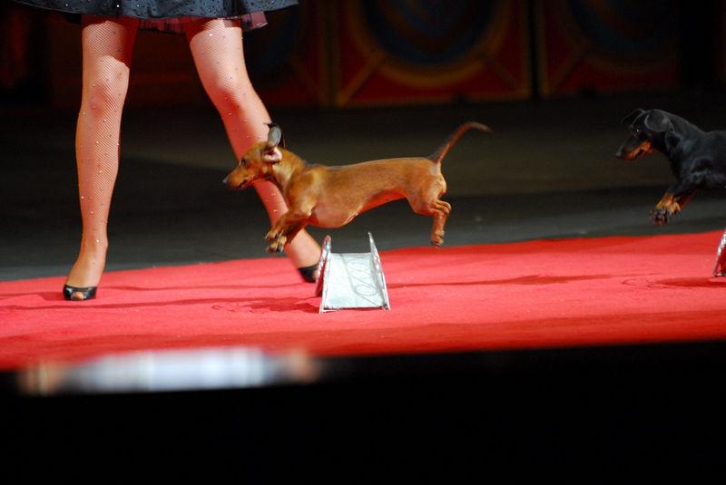 Jumping Daschund at the Ringling Brothers Circus