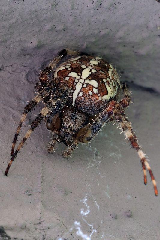 cross spider waiting