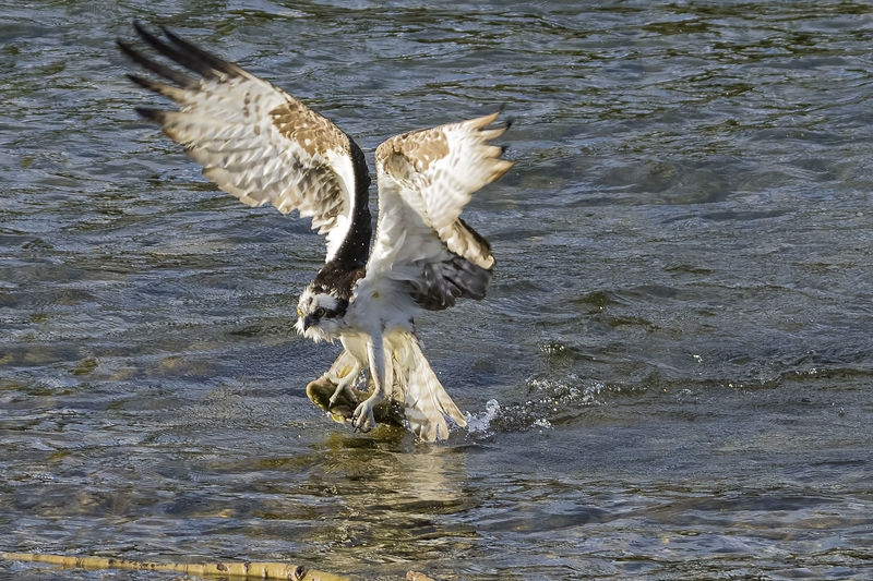 Osprey bites off almost more than he can chew