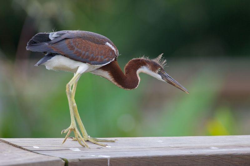 Egretta tricolor-Juvenile Tricolor Heron