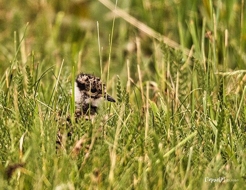 juvenile black-tailed godwit