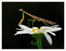 Praying mantis on Bachelor Button  natural light, cable release, mirror locked up, tripod, reflector(white mat board), and sun shade