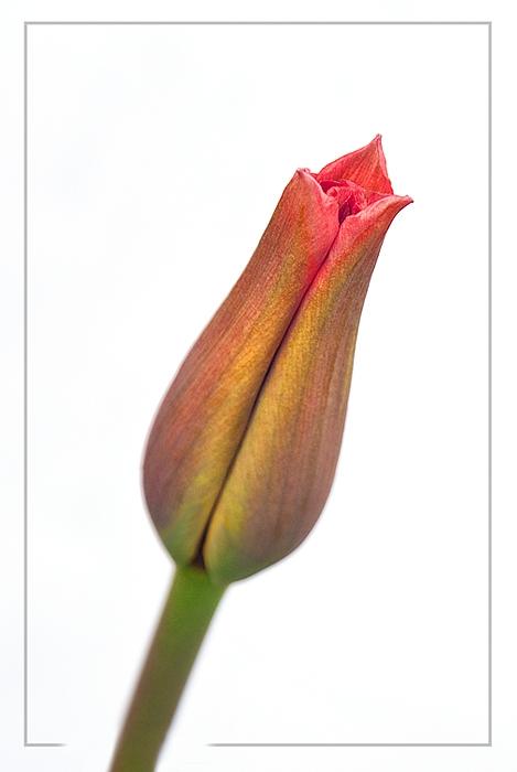 Tulip_-_Kiss_Me
