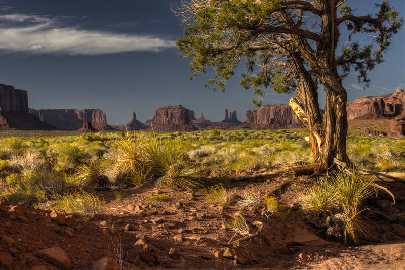 A Jack Pine at Monument Valley