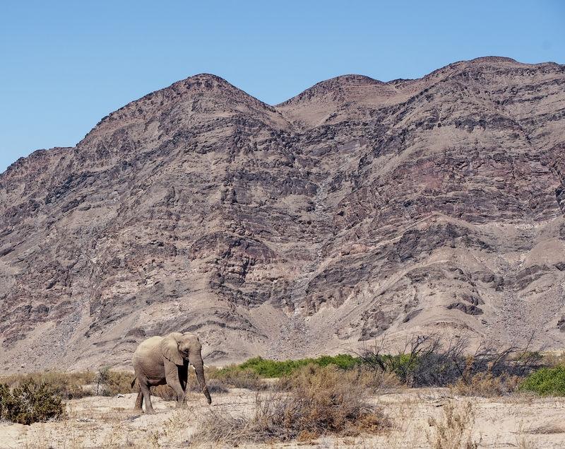 Desert-acclimated elephant