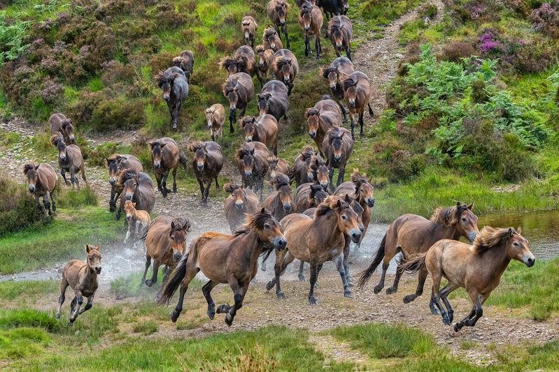 Exmoor Pony Gathering