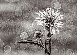 back-lit flower /pipco/