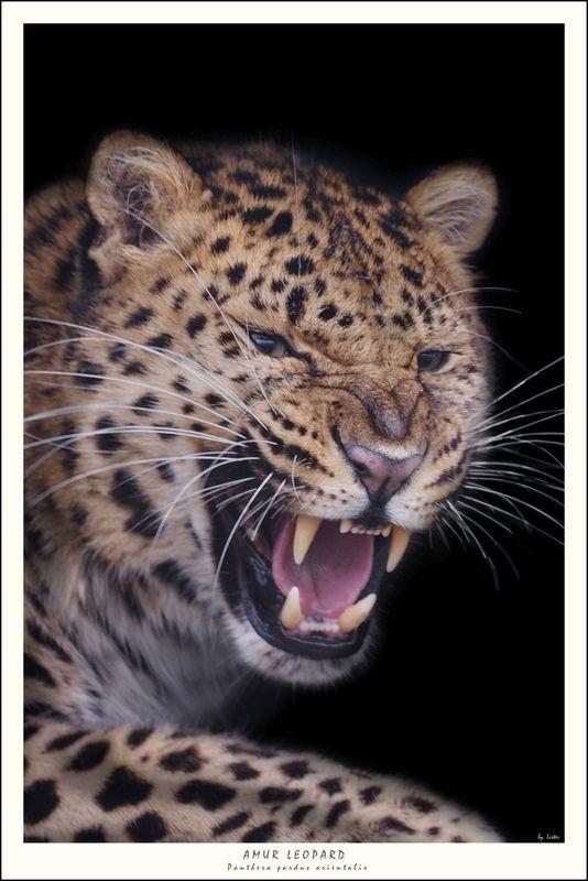 Male Amur Leopard