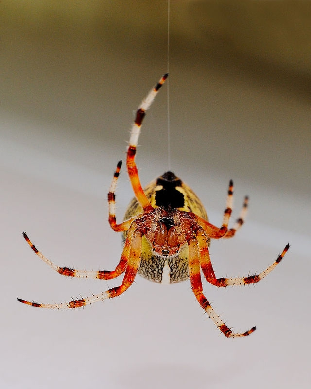 Spider on a rope