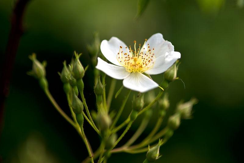 Kifskate Rose