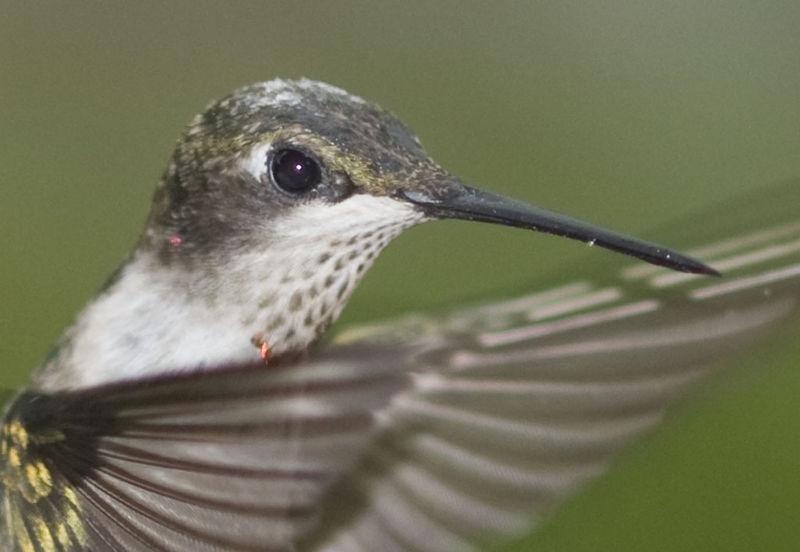 Hummingbird-Closeup