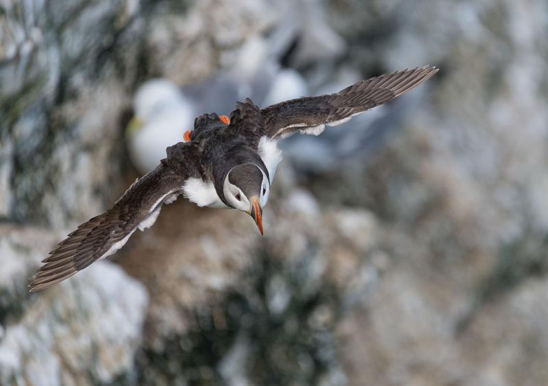 Sea birds at Bempton Cliffs