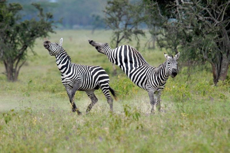 Zebra Stallion Knockout Blow