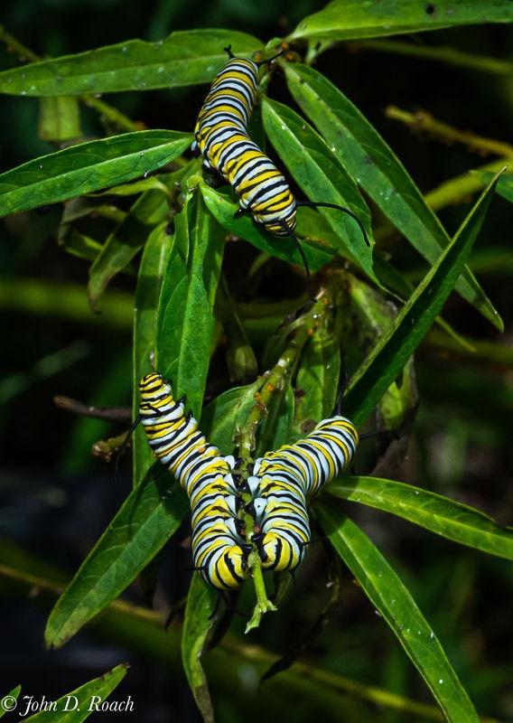 Monarch Larvae - 2