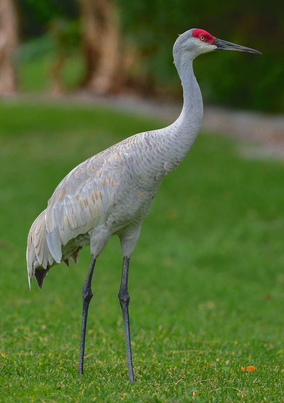 """""""Standing Tall""""-Grus canadensis"""