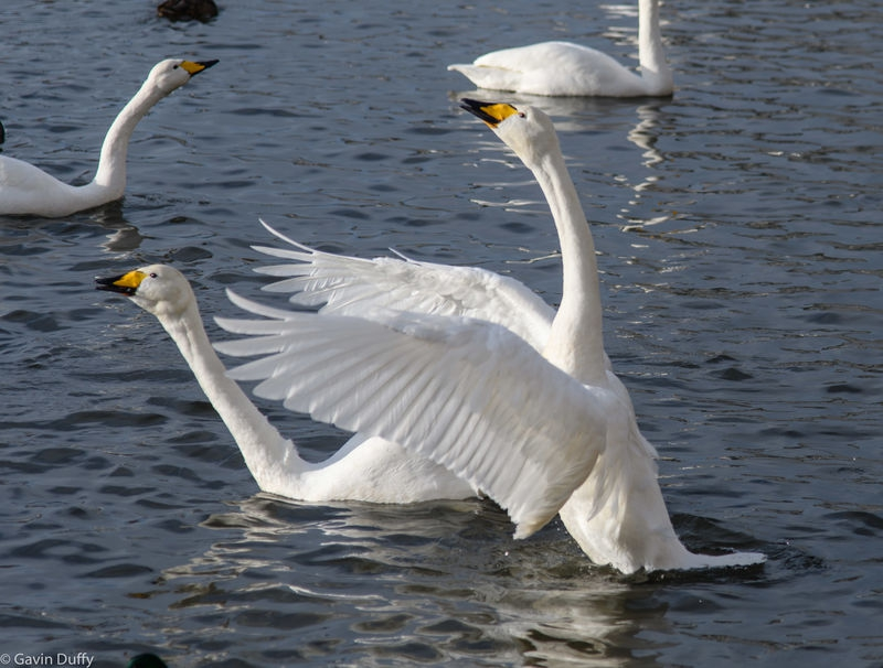 Whooping Swans in Iceland
