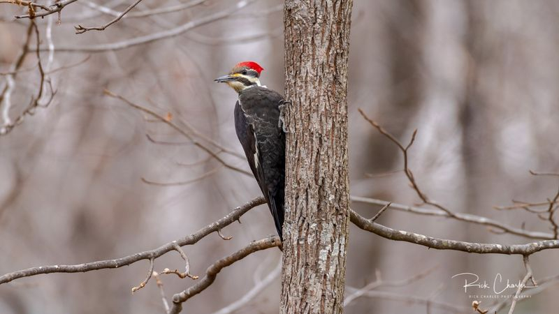 Pileated woodpecker in thebackyard-1