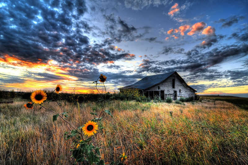 Sunflowers and Old Wood