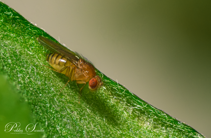 Common fruit fly on a Leaf