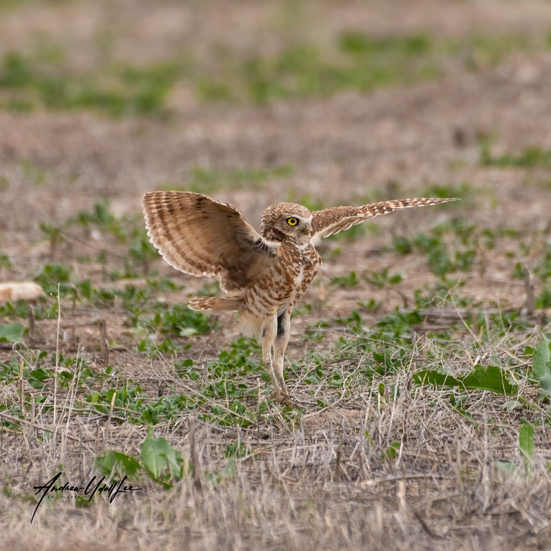 51619_burrowing_owl_7187_landing.jpg