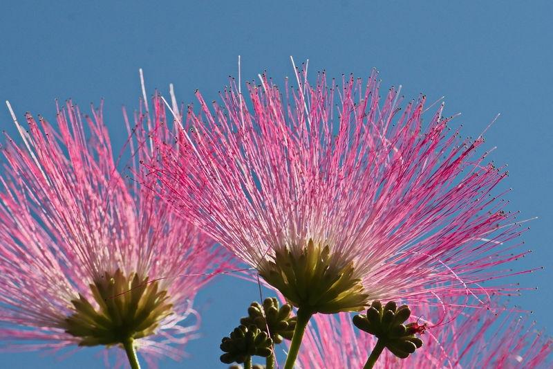 Albizia Tree Flowers