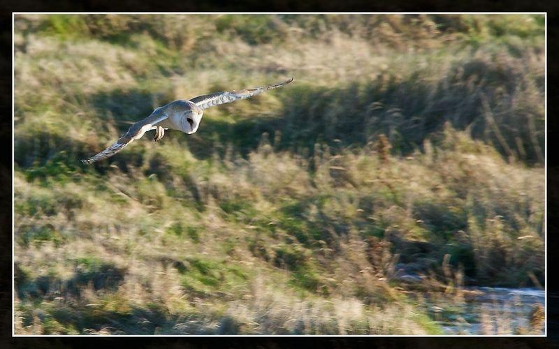 Barn Owl hunting over Blakeney Marshes