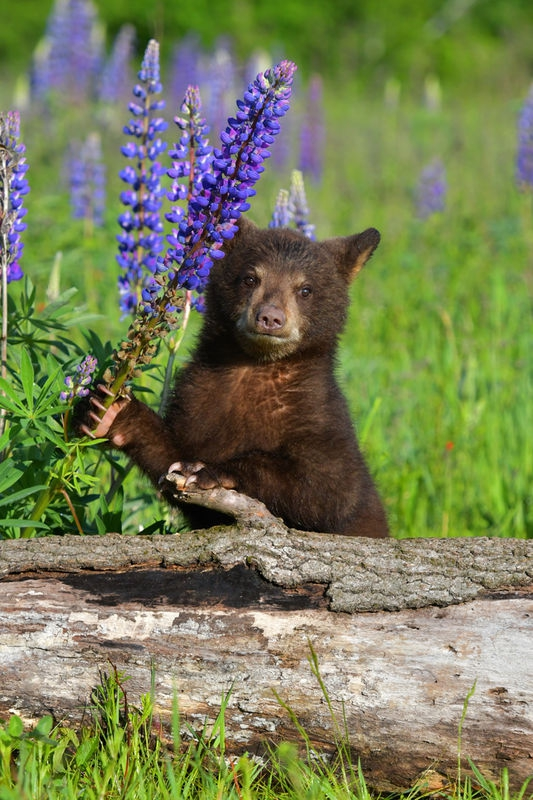 Black Bear Cub In Meadow