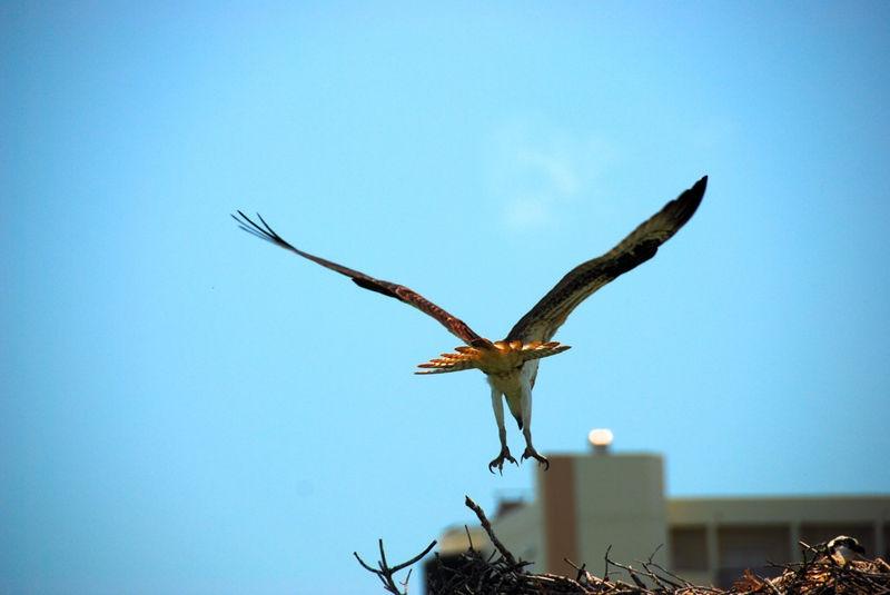 Osprey landing in nest