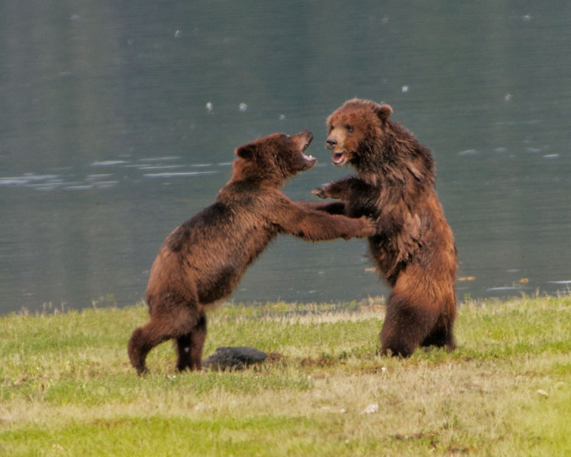 Grizzly Juveniles in Rough & Tumble Play