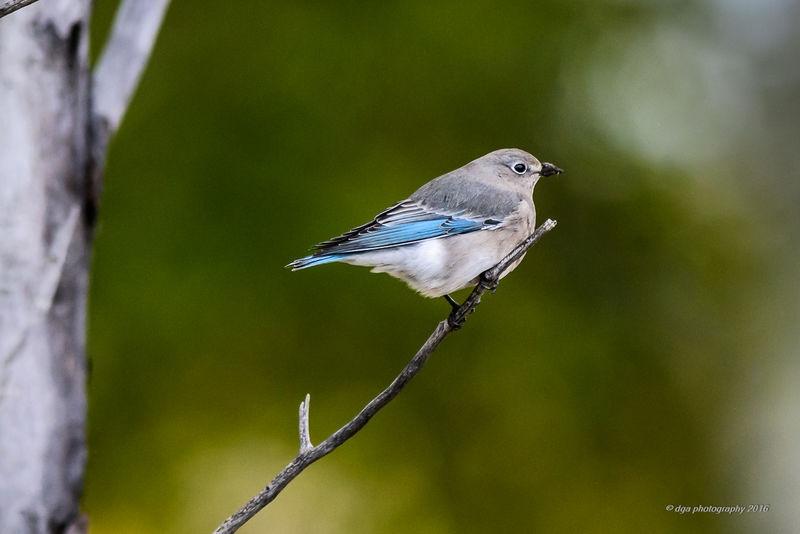 Blue Bird femals