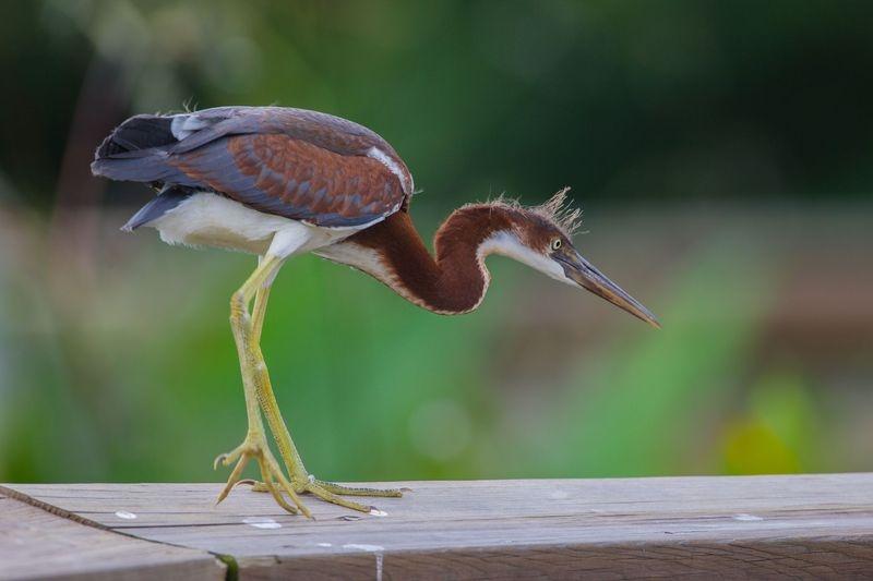 Egretta tricolor-Juvenile