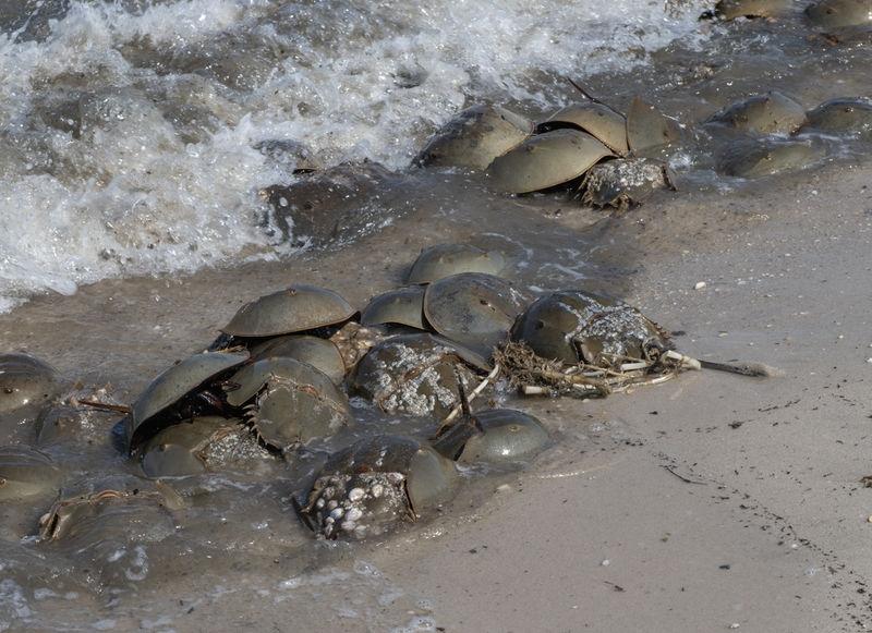Horshshoe crabs