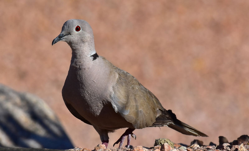 Eurasian ring necked dove