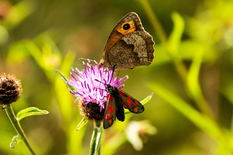 Meadow Brown and 6spot Burnett sharing a thistle flower