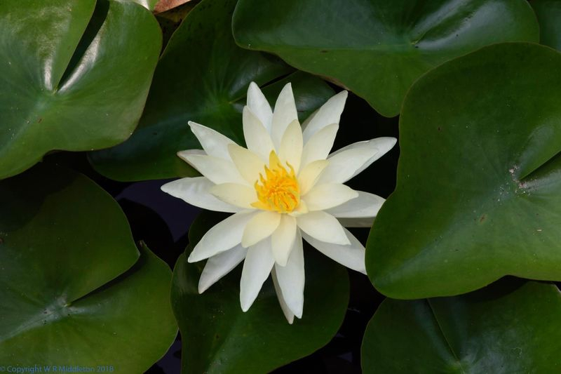 a perfect lily