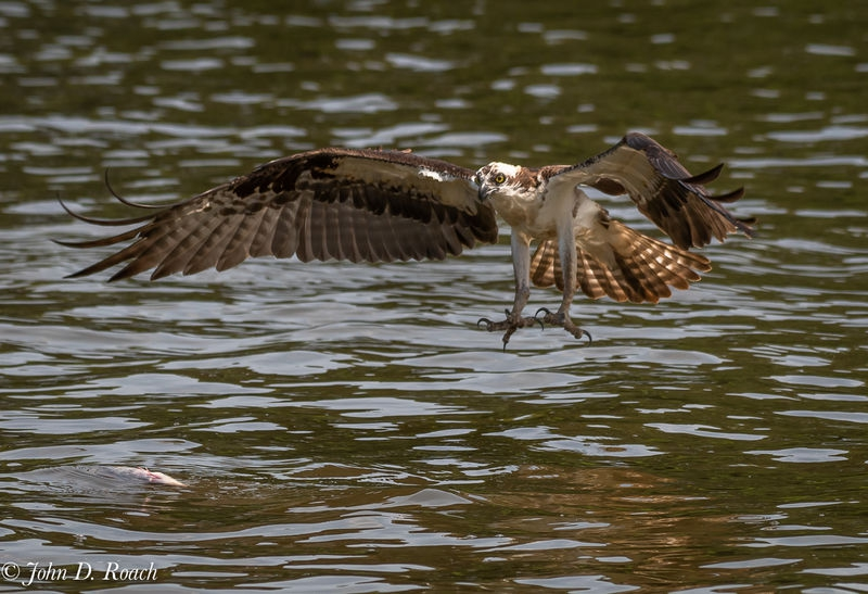 Osprey_Fishing_Sequence-1